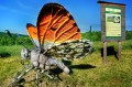 Motyl Zorzynek