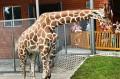 Żyrafa nie boi się ludzi