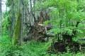 Drzewo zwalone z korzeniami