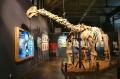 Szkielet dina w muzeum