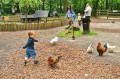 Pogoń za kurami