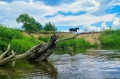 Konik biegający nad rzeką