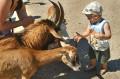 Fascynacja kozami