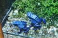 Niebieskie żaby
