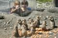 Podglądanie piesków preriowych