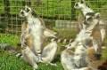 Lemury podczas 1. wizyty