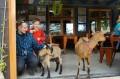 Pocieszne kozy