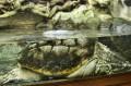 Ciekawy żółw w wiwarium
