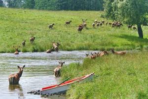 KOSEWO GÓRNE - Stacja badawcza jeleniowatych PAN
