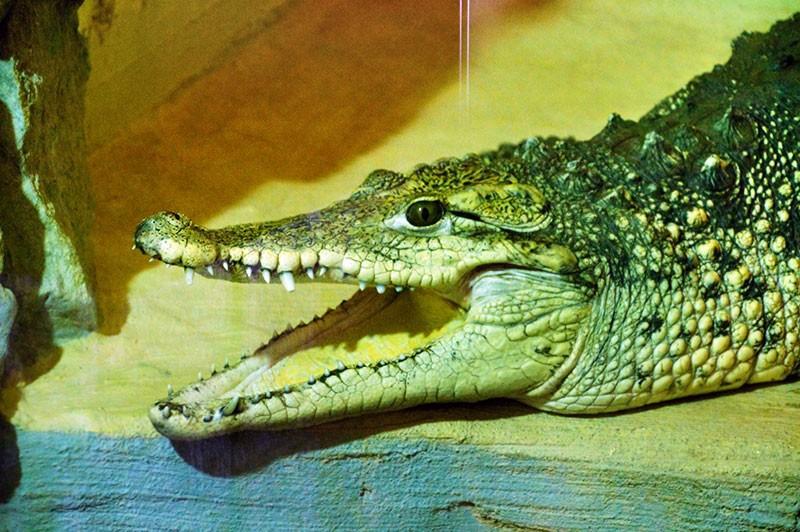 Krokodyl w pawilonie gadów